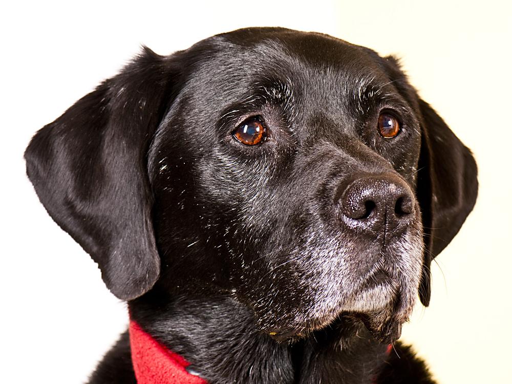 Schwarzer Labrador mit grauer Schnauze