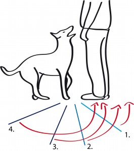 Der Hund lernt in kleinen Schritten in die Grundstellung zu rutschen
